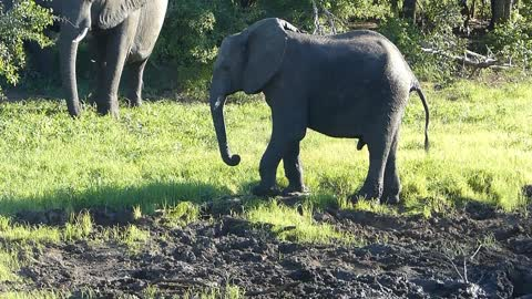Elephant cleaning mud of his foot