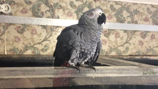 Parrot Bathes in Fish Tank - Video
