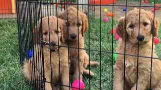 Goldendoodle puppy plays with her siblings