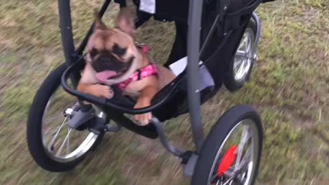 """Lazy Frenchie goes for a """"walk"""""""