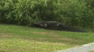 Backyard Gator