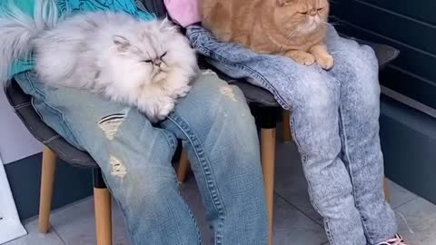 These needy cats have been tricked into sitting on fake laps