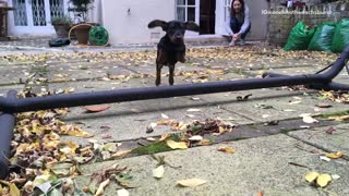 Slow motion black weiner dog jumps over bar to get to camera - Video
