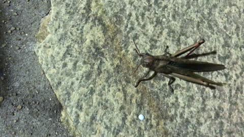 Huge cricket