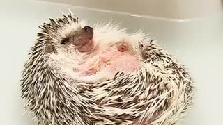 hedgehog so shinny and sitting like a boss