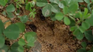 Nature Black Ants In Green Field , Food Search Soldiers