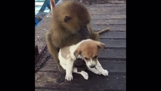 Young Baboon Adorably Grooms Puppy - Video