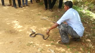 Exciting cobra catching, unique cobra catching moment  - Video