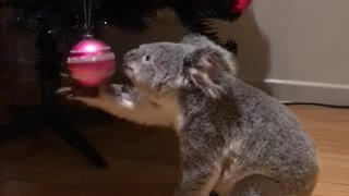 Koala is Curious About the Christmas Tree