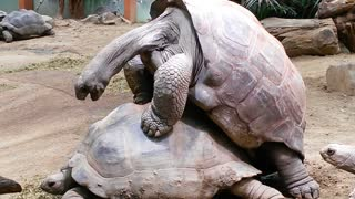 Aldabra Giant Tortoises Mating Loudly - Video