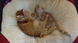 Foster kitten cuddles with adopted mother - Video