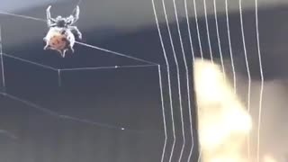 Spider Displays Amazing Precision During Web Building - Video