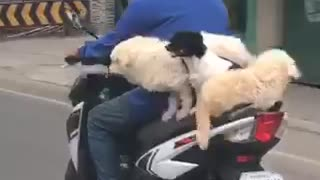 Trio of dogs casually ride on back of scooter