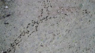 River of Ants Flows through Jungle - Video