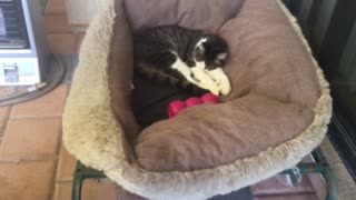 Cat Steals Dogs Bed  - Video