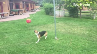 Dog playing tedder ball - Video