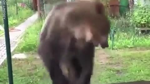 The Adorable Bear Plays And Splashes Around In A Puddle