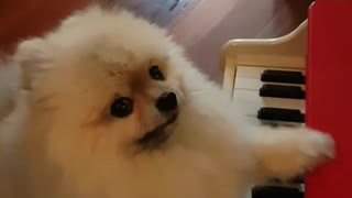Dogy Playing On the Piano