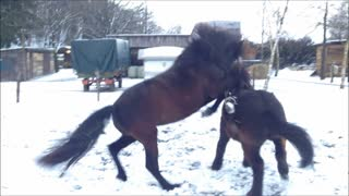 Fun loving horses play in the snow - Video