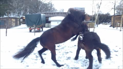 Fun loving horses play in the snow