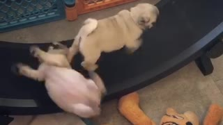 Pug puppy enjoys running on hamster wheel