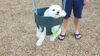 White dog in neon green shirt on swing - Video