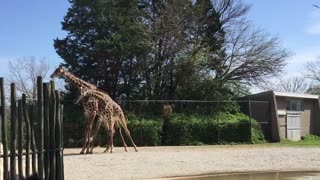 Giraffe fight is anything but epic