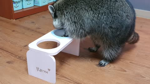 Raccoon spills water from his table and plays around.