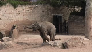 Elephant Youngsters Present Sibling Rivalry Over A Toy - Video