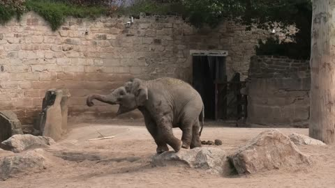 Elephant Youngsters Present Sibling Rivalry Over A Toy