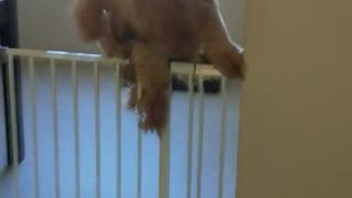 Large tan curly dog jumps over white fence in house