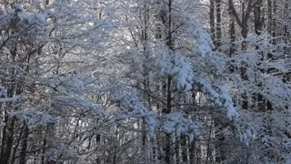 Snow Falling From Trees