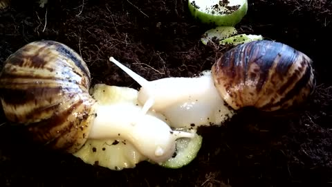The snails eat cucumber together loving