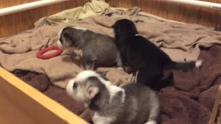 Siberian Husky Puppies Playing, Howling, Pushing..Bundles of Funny Cuddly Cuteness  - Video