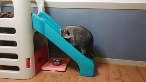 Raccoon wants to climb up the slide backwards
