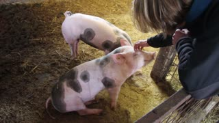 Pig enjoys head scratch so much he faints!