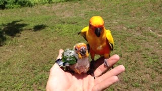 Father Bird Feeds Baby Parrot After Mother Dies