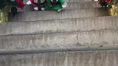 French Bulldogs dress as Santa & his little helper