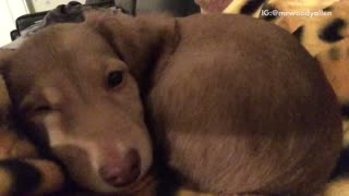 Brown puppy on yellow blanket keeps hiccuping - Video