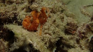 Beautiful and Beastly Brackish Frogfish Side by Side