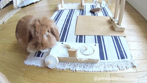 Smart rabbit conquers obstacle course for treats