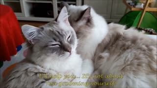 Gatos ragdoll se miman mutuamente - Video