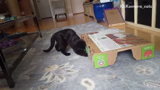 Black cat playing with white cat under tomato box