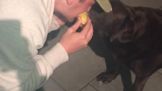 Brown dog eating and sharing corn with owner