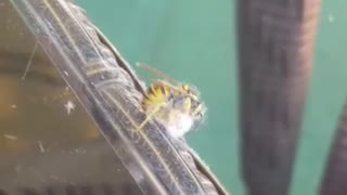 bee attacking moth  - Video