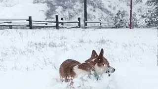 Corgi running through snow with brown dog - Video