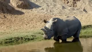 San Diego Zoo's white rhinos provide hope for the critically endangered species - Video