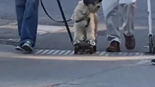 Dog on skateboard with yankees baseball hat - Video