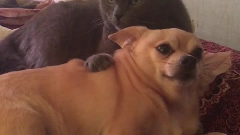 The cat almost killed the dog!