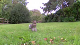 Squirrel chasing magpies away
